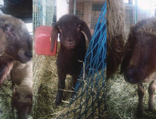 Unsere 5 neuen Schafe