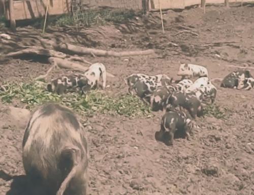 (Video) Eine glückliche Turopolje-Schweine Familie