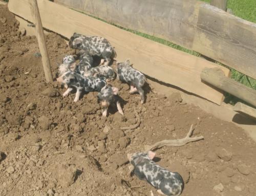 Die zweite Runde Turopolje Freilandschwein